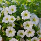 Calibrachoa Cruze Control White Pplcalcwh - Garden Express Australia
