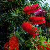 Callistemon Redmans Firelpocalrfi - Garden Express Australia