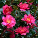 Camellia Cherilyn Pplcamche - Garden Express Australia