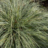 Carex Brunnea Variegata Pplcarbva - Garden Express Australia