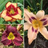 Daylily Spring Collection 5 Coldlisp5 - Garden Express Australia