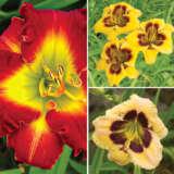 Daylily Spring Collection 6 Coldlisp6 - Garden Express Australia