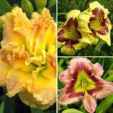 Daylily Spring Collection 7 Coldlisp7 - Garden Express Australia