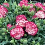 Dianthus Adorable Cami Ppldiaaca - Garden Express Australia