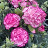 Dianthus Adorable Chantilly Ppldiaach - Garden Express Australia