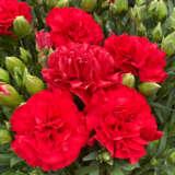 Dianthus Adorable Eos Ppldiaaeo - Garden Express Australia