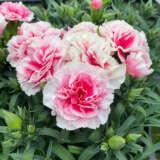 Dianthus Adorable Financier Ppldiaafn - Garden Express Australia