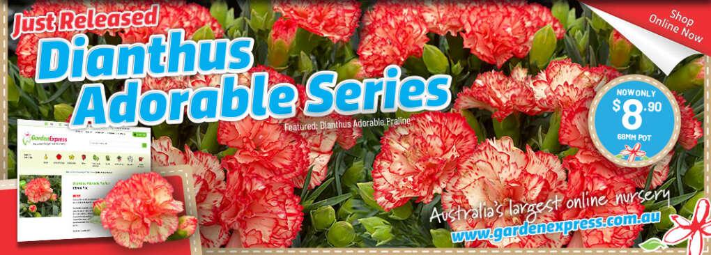 Dianthus Slider - Garden Express Australia