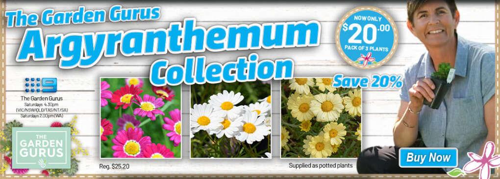Ge Gurus Argyranthemum Slider V2 - Garden Express Australia