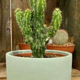 Harvey Sage Pot With Peruvian Cactus Colhsgpca - Garden Express Australia
