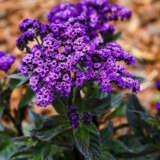 Heliotrope Scentropium Dark Blue Pplhelsdb - Garden Express Australia
