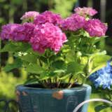 Hydrangea Tea Time Pink Pplhydttpk - Garden Express Australia
