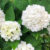 Hydrangea Tea Time White Pplhydttwh - Garden Express Australia