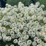 Lobularia Marineland White Ppllobmwh - Garden Express Australia