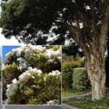 Melaleuca Snow In Summer Lpomelsis - Garden Express Australia
