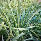 Mondo Grass Variegated Pplmonvar - Garden Express Australia