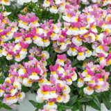 Nemesia Bi Pink Cream Yellow Pplnempcy - Garden Express Australia