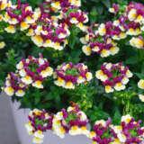 Nemesia Raspberry Yellow Pplnemrye - Garden Express Australia