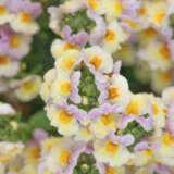 Nemesia Yellow Light Pink Bicolour Pplnempcy - Garden Express Australia
