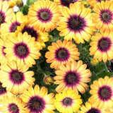 Osteospermum Pop Eye Pplostpey - Garden Express Australia