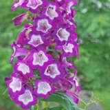 Penstemon Phoenix Violet Pplpenpvi - Garden Express Australia