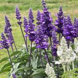 Salvia Farina Violet Pplsarfvi - Garden Express Australia