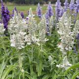 Salvia Farina White Pplsarfwh - Garden Express Australia