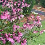 Salvia Tickled Pink Pplsaltpi - Garden Express Australia