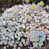 Sedum Cape Blanco Pplsedcbl - Garden Express Australia