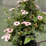 Thunbergia Arizona Pink Beauty Pplthuapb - Garden Express Australia