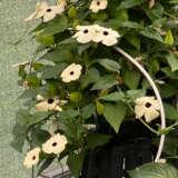 Thunbergia Arizona White Halo Pplthuawh - Garden Express Australia