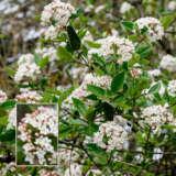 Viburnum Anne Russell Lpovibaru - Garden Express Australia